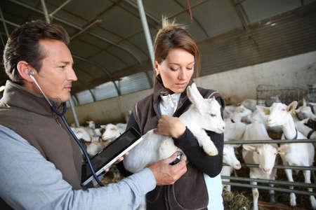 medicalcare: Veterinarian taking care of goat in barn Stock Photo