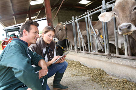 stock breeding: Veterinarian with breeder checking on herd Stock Photo