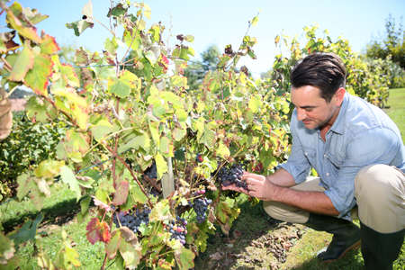 knelt: Man in vineyard checking on grapes