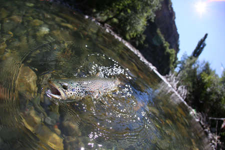 Closeup of fario trout being caught in river photo