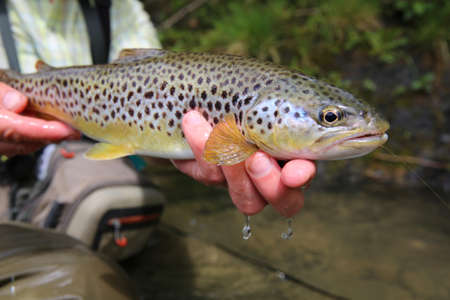 trout: Closeup of brown trout caught by fisherman Stock Photo