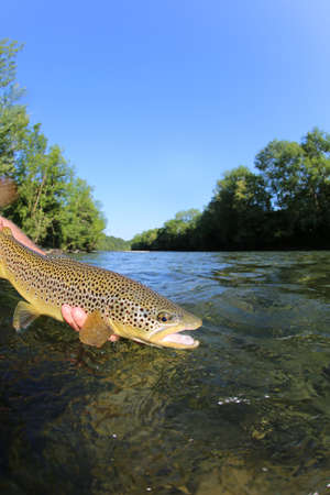fly fishing: Fisherman releasing trout in river Stock Photo