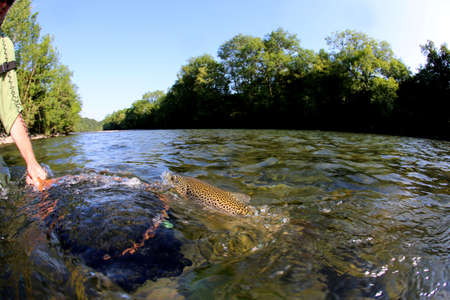 brown trout: Brown trout being taken out of water with fishing net