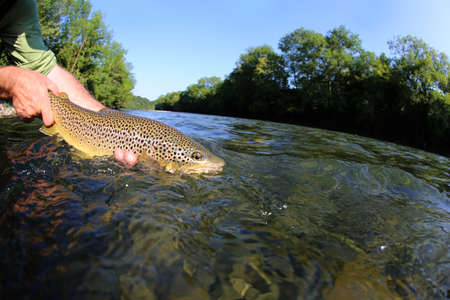 flyfishing: Fisherman releasing trout in river Stock Photo