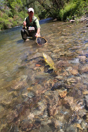 flyfishing: Fly-fisherman in water catching brown trout