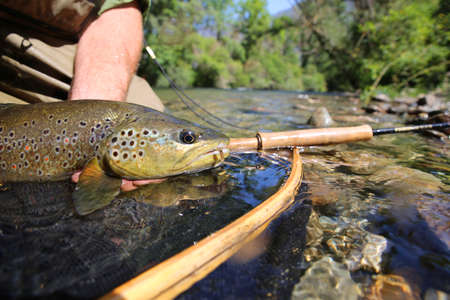 brown trout: Closeup of brown trout fish caught in landing net