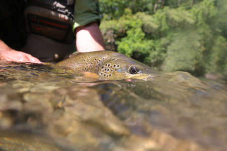 brown trout: Brown trout being taken out of water by fisherman Stock Photo