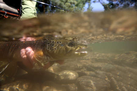flyfishing: Brown trout being taken out of water by fisherman Stock Photo
