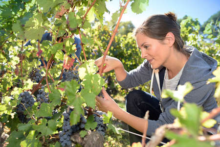 wine grower: Closeup of young woman picking grape in vineyard