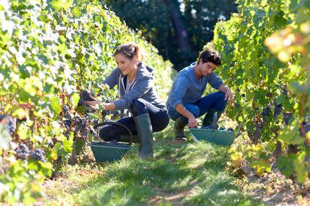 Young people working in vineyard during harvest season