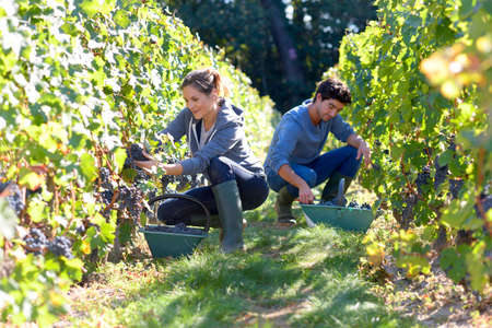 Jonge mensen die werken in de wijngaard tijdens de oogst seizoen Stockfoto