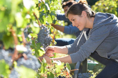 viñedo: Los jóvenes en el viñedo durante la temporada de cosecha Foto de archivo