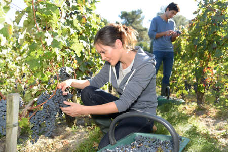 wine grower: Young woman cutting bunch of grapes during harvest season