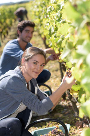 knelt: Young people in vineyard during harvest season