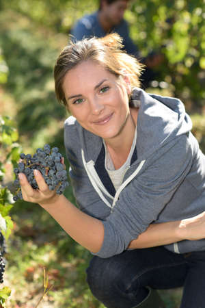 knelt: Young woman harvester working in vineyard Stock Photo