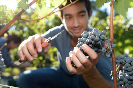 knelt: Young man cutting bunch of grape in vineyard