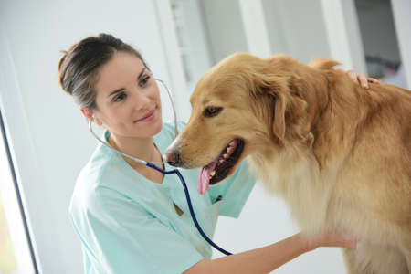 Veterinarian examining dogs heartbeat