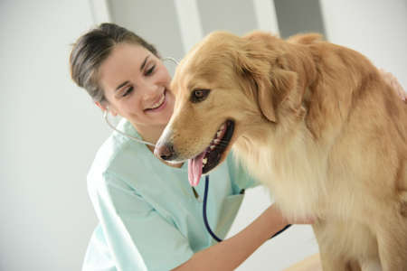 veterinary: Veterinario examinando los latidos del coraz�n del perro