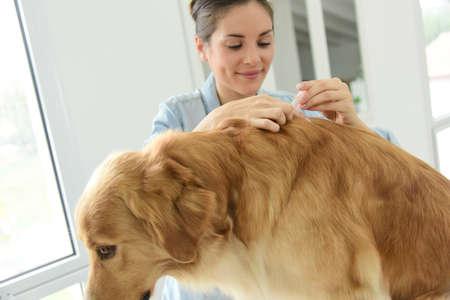 Vrouw toepassing teek en vlooien preventie behandeling om haar hond