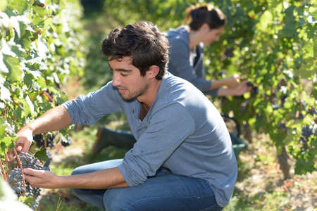 knelt: Young man harvester working in vineyard