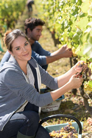 wine grower: Young people in vineyard during harvest season
