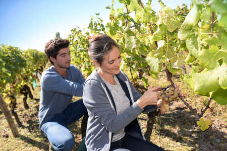 wine grower: Young people picking grape during harvest season