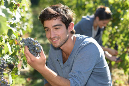 wine grower: Closeup of harvester holding bunch of grape