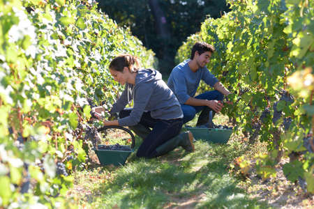 red grape: Young people working in vineyard during harvest season