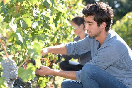 knelt: Young man in vineyard during harvest season