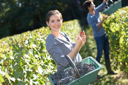 vinery: Smiling young woman holding basket of grape in vineyard