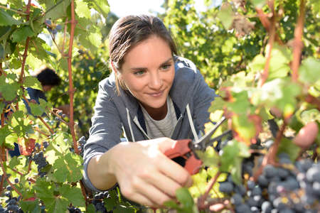 knelt: Closeup of young woman picking grape in vineyard