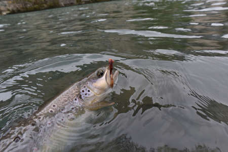 caught: Closeup of brown trout caught by fly-fisherman