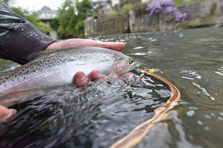 rainbow trout: Closeup of rainbow trout caught in river