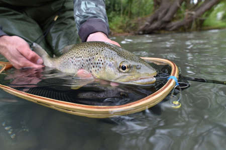 caught: Closeup of fario trout caught by fisherman Stock Photo