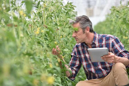 Agricultor de invernadero comprobación de las plantas de tomate Foto de archivo
