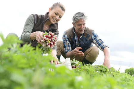 collecting: Couple of farmers knelt in field collecting vegetables Stock Photo