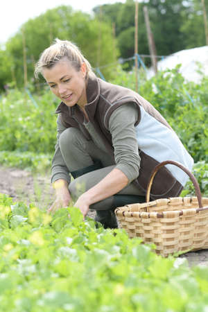 knelt: Cheerful woman farmer picking lettuce in agricultural field