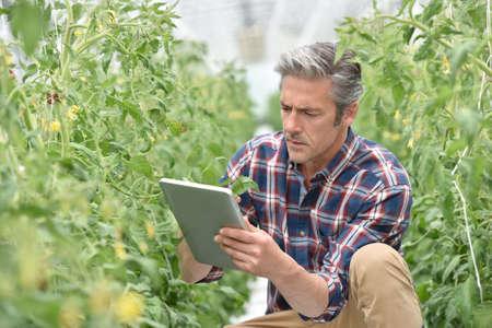 controling: Farmer in greenhouse checking tomato plants