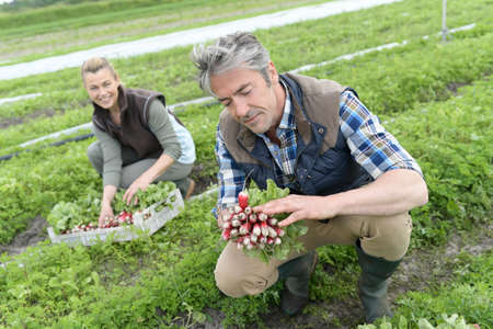 knelt: Couple of farmers knelt in field collecting vegetables Stock Photo