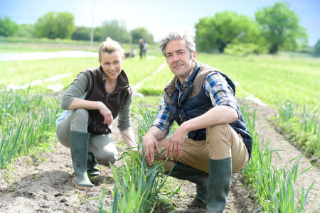 knelt: Farmers in field checking crop