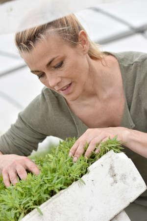 knelt: Farmer in greenhouse preparing aromatic plants Stock Photo