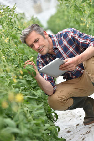 agronomist: Farmer in greenhouse checking tomato plants