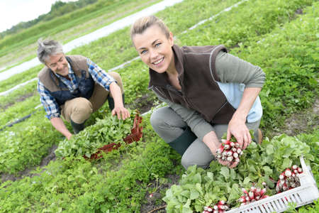 seasonal worker: Couple of farmers knelt in field collecting vegetables Stock Photo