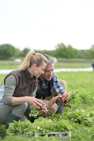 seasonal worker: Couple of farmers collecting radish in vegetable field Stock Photo