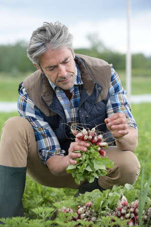 collecting: Farmer in field collecting vegetables Stock Photo