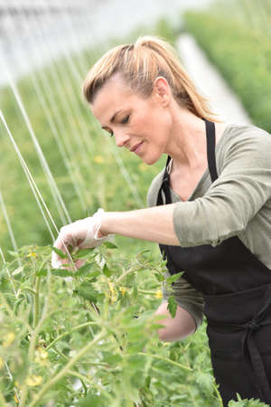 controling: Farmer in greenhouse cultivating tomatoes Stock Photo