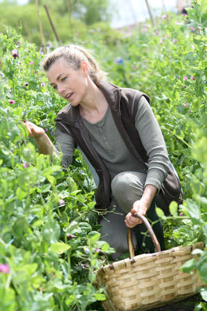knelt: Woman checking crop yield in field row