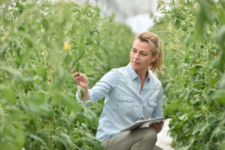 controling: Woman in greenhouse checking tomato plants Stock Photo