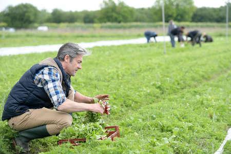 knelt: Man knelt in field collecting radish Stock Photo