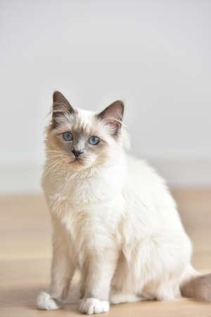Portrait of Sacred of Birmanie kitten, cat Stock Photo